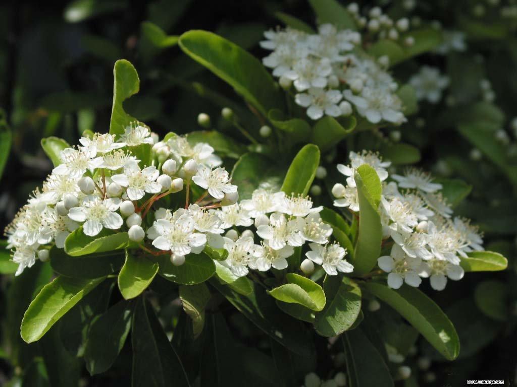 火棘花在初夏开放,伞状花序,每个花序上都十几朵花成簇开放,花白色,在绿叶的映衬下显得更加洁白如雪
