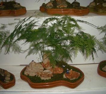文竹盆景精美图片