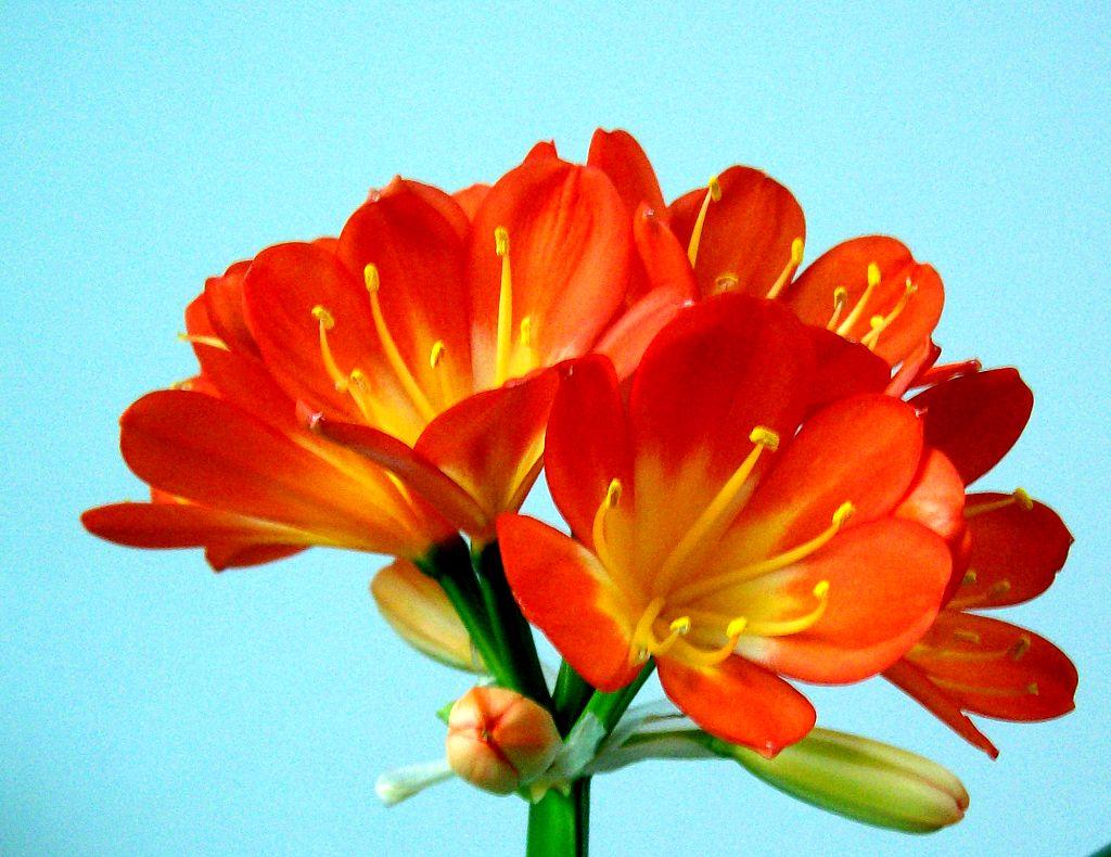 君子兰 君子兰品种大全 君子兰作用 君子兰图片 君子兰花