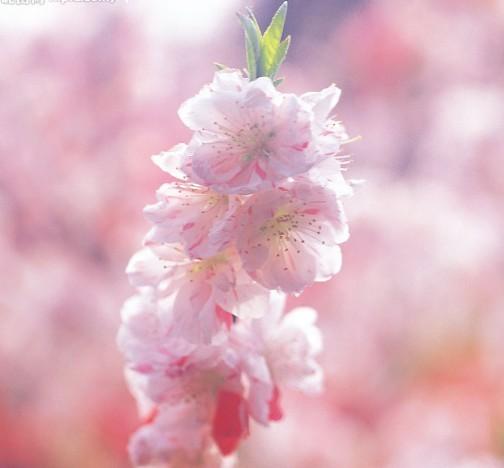 樱花 樱花图片 樱花品种大全 樱花花语 樱花作用 樱花长什