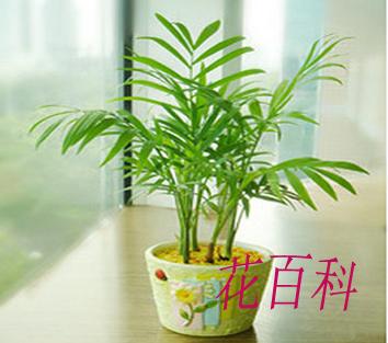 袖珍椰子图片_袖珍椰子-花百科