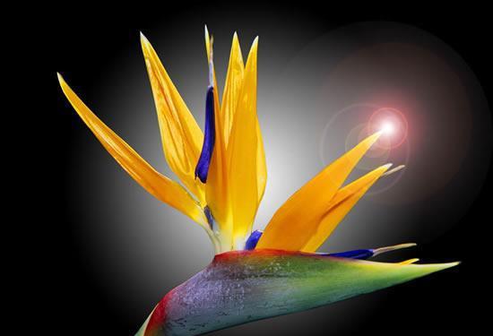 天堂鸟花语大全_天堂鸟的花语和象征意义-花百科