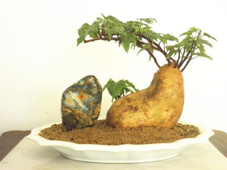 石头与地瓜盆景