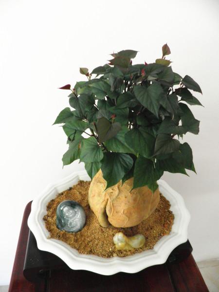 我家的白薯盆景