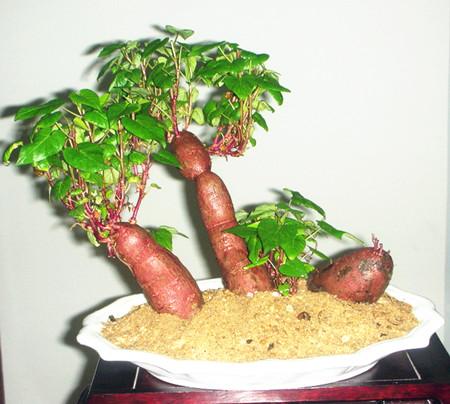 红薯盆景速成法