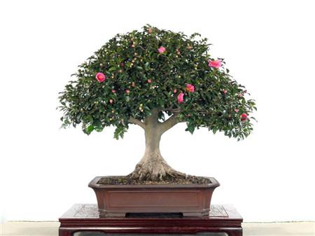 山茶花盆栽图片欣赏-花百科