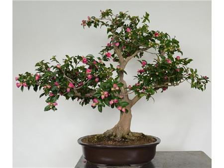 山茶花盆栽,山茶花