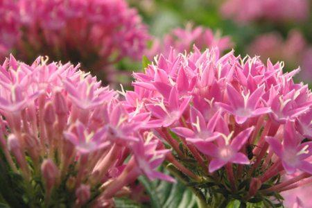 粉色八宝景天花朵