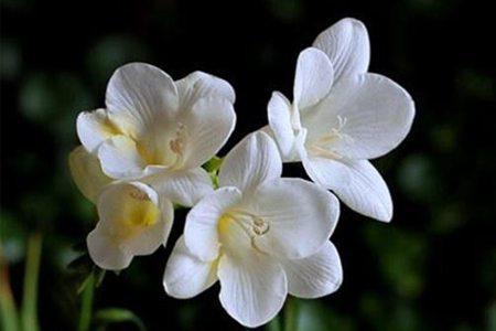 白花小苍兰