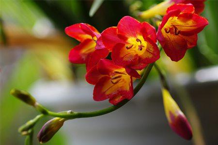 红花小苍兰