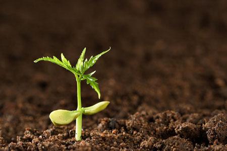 玉簪花种植土壤