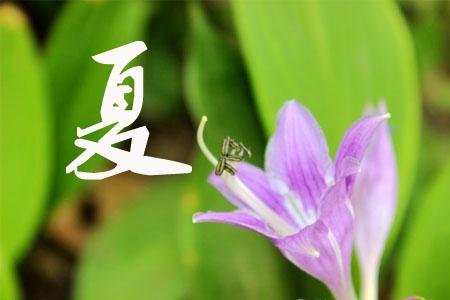玉簪花的夏季养护