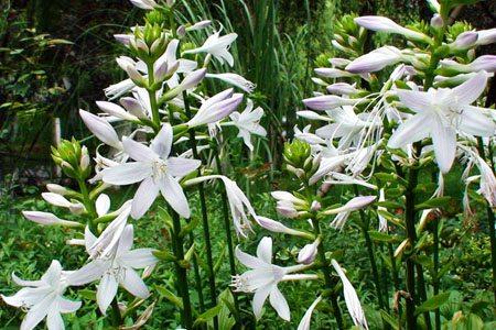 玉簪花分月养护