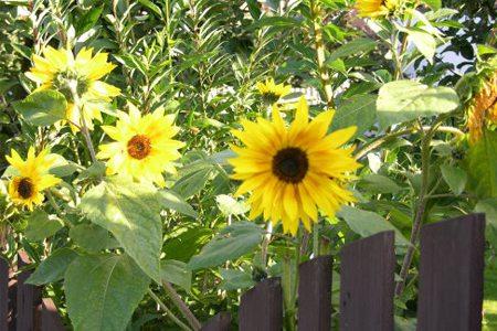 庭院中的向日葵