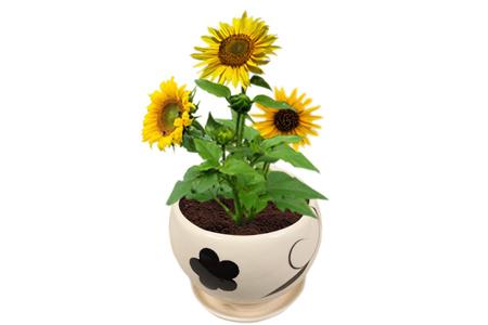 家庭盆栽向日葵