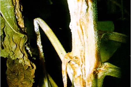 向日葵茎叶腐烂