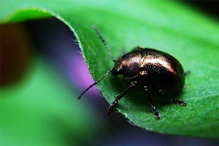 黑绒金龟虫甲