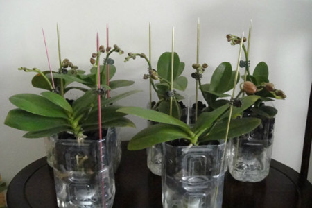 水培蝴蝶兰-容器选取