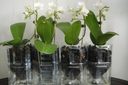 水培蝴蝶兰-晾干植株