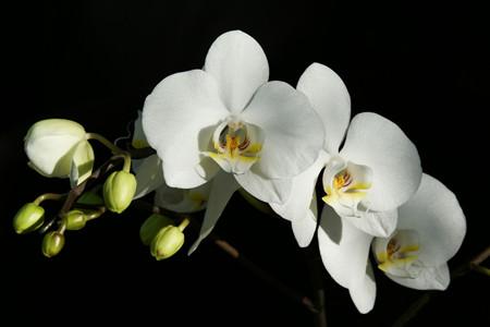 蝴蝶兰养护-阳光