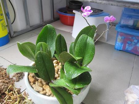 蝴蝶兰栽培施肥要求