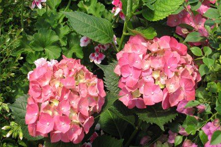 八仙花扦插后养护
