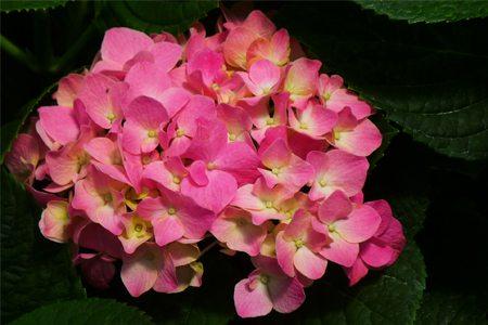 艳丽的八仙花