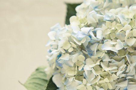 白色八仙花