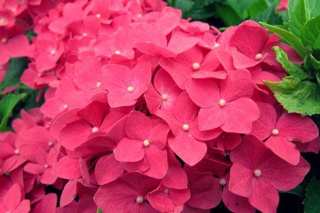 粉色八仙花