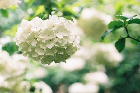 八仙花养护之光照要求