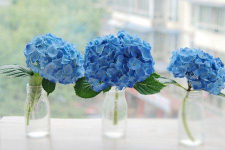 八仙花的观赏性