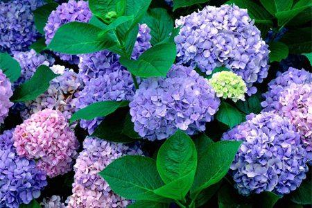 紫色八仙花