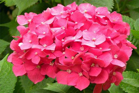 八仙花品种-阿尔彭格卢欣