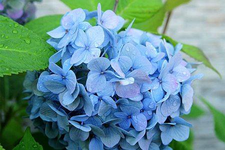 八仙花品种-恩齐安多姆