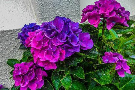 八仙花品种-弗兰博安特