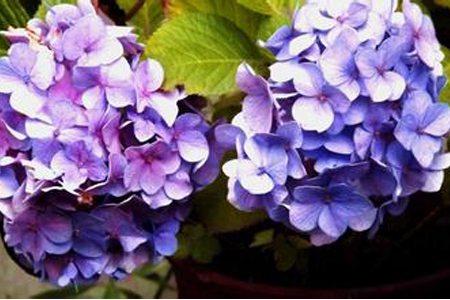 八仙花品种-法国绣球
