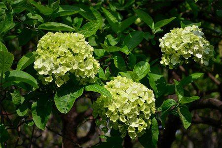 八仙花品种-雷古拉