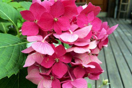八仙花品种-斯特拉特福德八仙花