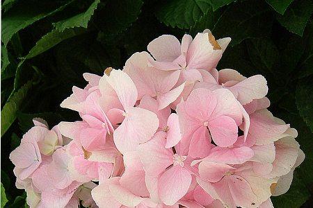 八仙花品种-德国八仙花