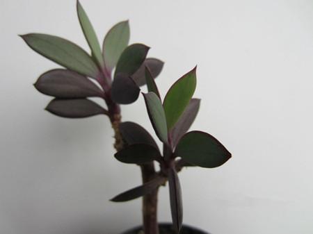 紫章的培土选盆方法