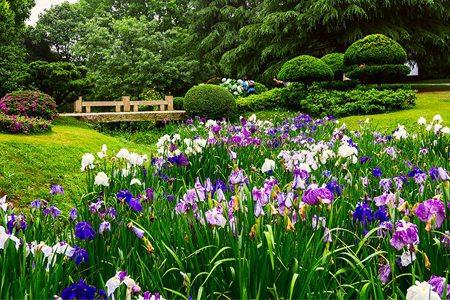 花菖蒲栽培方法