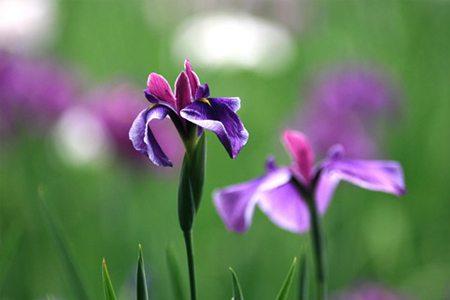 花菖蒲的种子繁殖方法
