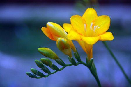 黄色香雪兰