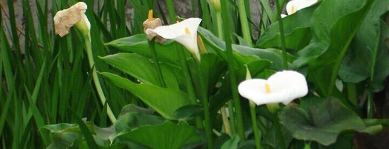 马蹄莲叶子发黄