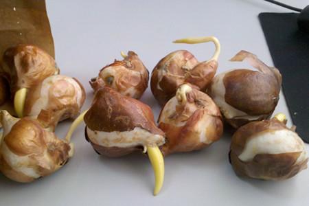 郁金香播种繁殖法