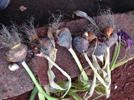 郁金香种球的保存方法