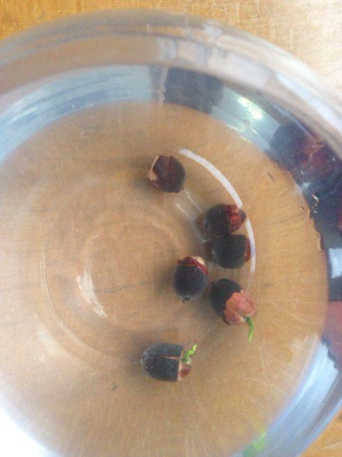 浸泡碗莲种子