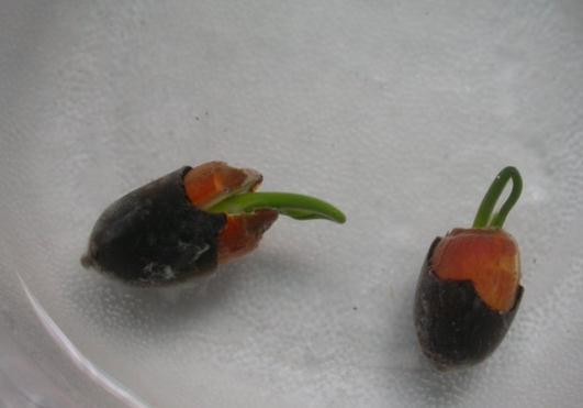 碗莲种子发芽