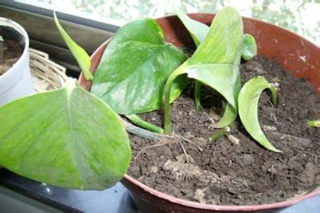 绿萝压条繁殖