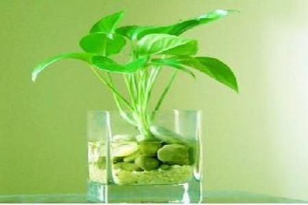 绿萝水插繁殖